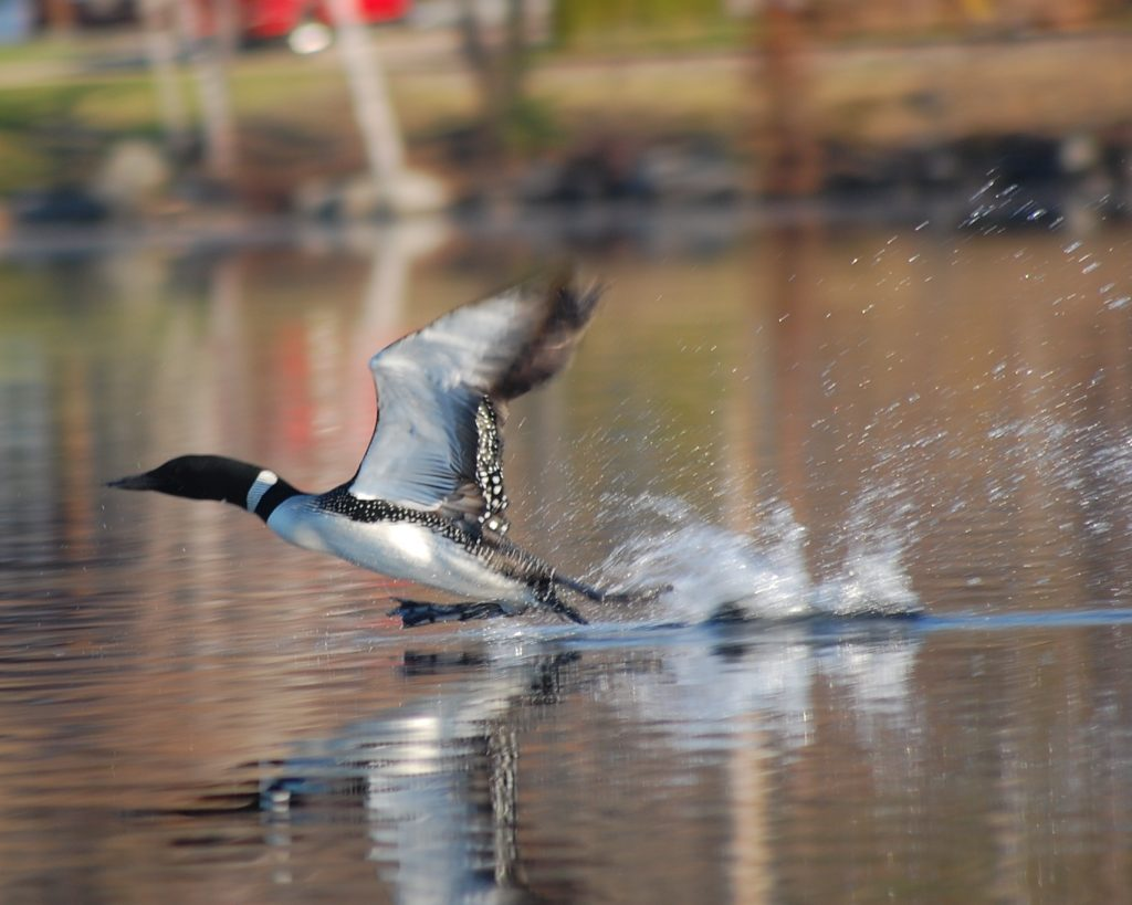 Image of photograph of loon taking off.